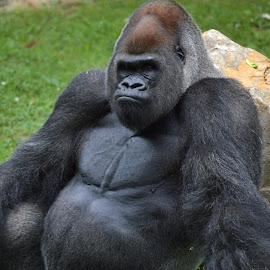 Gorilla by Shannon Maltbie-Davis - Animals Other Mammals