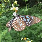 Dark Blue Tiger Butterfly
