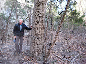Photo: Our last stop in Bandera County brought us to the national champion Texas Ash (Fraxinus texana), seen here lending support to its nominator, Billy Walker.