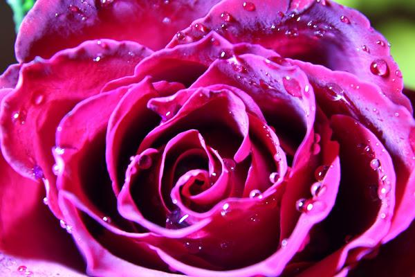 Rosa di dannyvec75