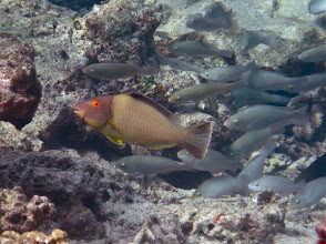 Photo: a juvenile male parrotfish leading a school of juvenile female parrotfish