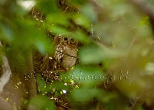 Photo: Cárabo africano (Strix woodfordii)