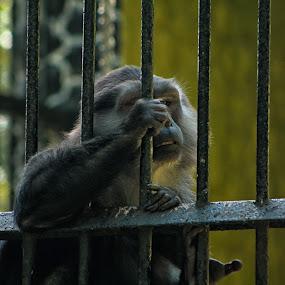 Terkurung dan lapar by Fidan Luthfullahi - Animals Other ( monkey, fauna, animal, zoo, indonesia )
