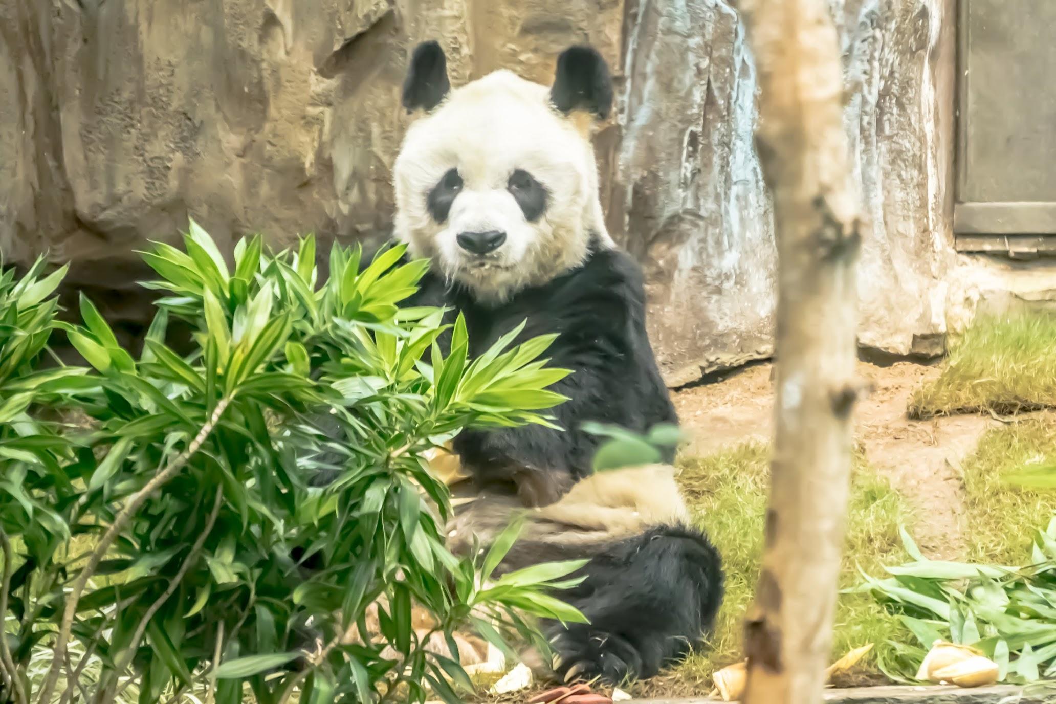 香港 海洋公園(オーシャンパーク) パンダ1