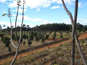 Photo: Juillet 2010,plantation l'hiver australe vue du paulownia