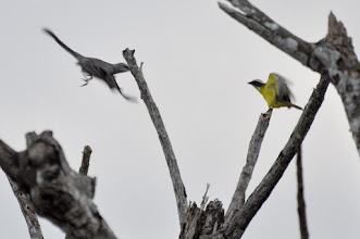 Photo: Tropical Mockingbird vs. Social Flycatcher; Bacalar, QR