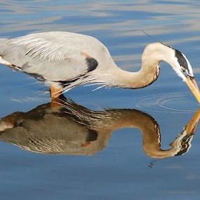 Reflections by Barb Moore - Animals Birds ( bird, great blue heron, reflection, florida, pwctaggedbirds, lake underhill, fishing,  )