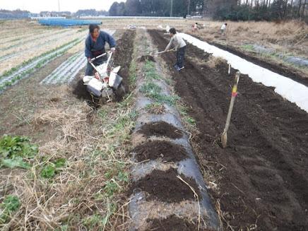 里芋の周りを耕して、土を株元に載せる