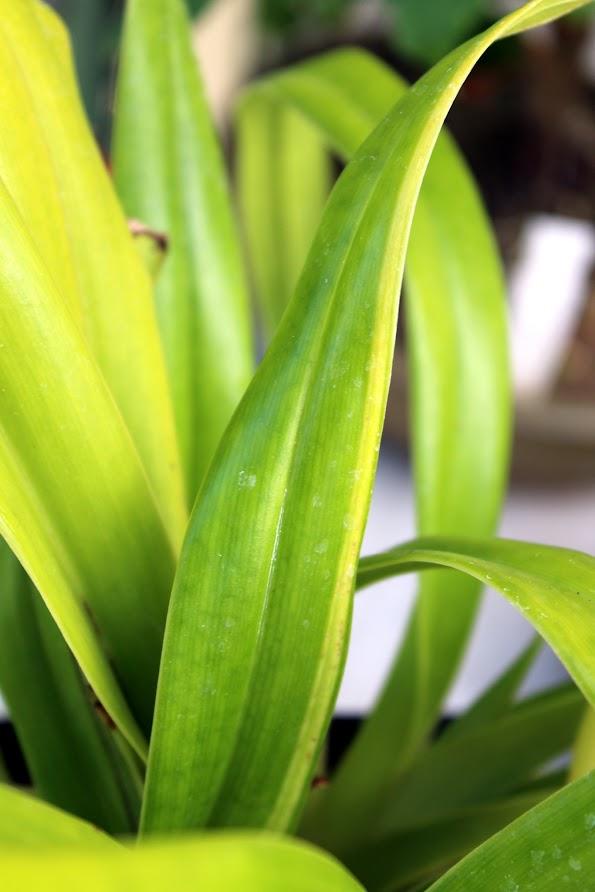 """Phragmipedium Schroderae 'La Tuilerie' avec pousse """"variegata"""" UkecFXb6WHVZheXOFwssyDq6ptRHbBqcsWL8mWi7khMw=w595-h892-no"""