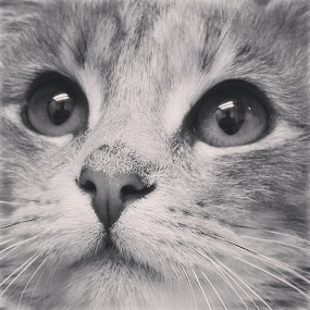 Kirsten by Rusty Jhorn - Animals - Cats Portraits ( kitten, adoption, cat, black white, mcspca,  )