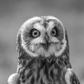 SE Owl by Garry Chisholm - Black & White Animals ( raptor, birfd of prey, nature, short eared owl, garry chisholm )