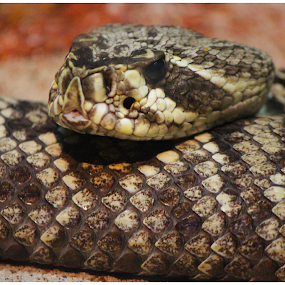 Rattle Snake by Arunkumar Boyidapu - Animals Reptiles ( scary, poisonous, snake, reptiles, rattle, dangerous )