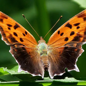 Question Mark Butterfly by Carol Milne - Animals Insects & Spiders