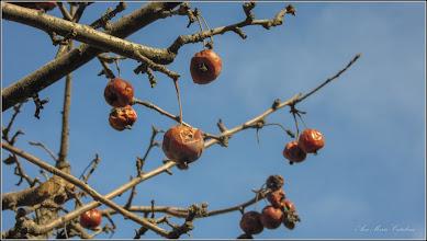 Photo: Măr japonez (Malus floribunda) - din Turda,  Str. Libertatii - 2019.02.25