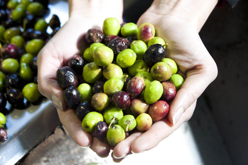 Photo: Some olives before they hit the press.