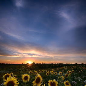 Sunflowers! by Stig Johansson - Landscapes Sunsets & Sunrises ( clouds, field, sweden, lund, sky, sunflowers, sunset, beautiful, sunflower, night, landscape, sun )