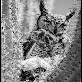 Great Horned Owl by Dave Lipchen - Black & White Animals ( great horned owl )