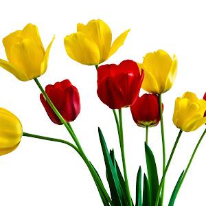 Tulips 1 FINAL VERSION.jpg