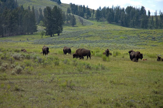 Photo: Bison in Yellowstone- 30 minutes away!