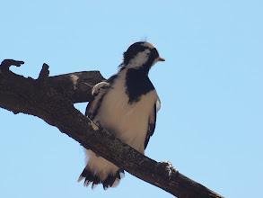 Photo: Magpie-lark Chick