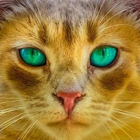 Mesmeriser by Assi Dvilanski - Animals - Cats Portraits ( mammals, cats, animal portrait, animals, cat, mammal, eye, eyes, animal,  )