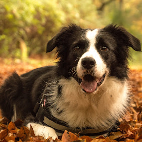 Dog in the Fall by Thyra Schoonderwoerd - Animals - Dogs Portraits ( love, forrest, border collie, fall, leaves, dog )
