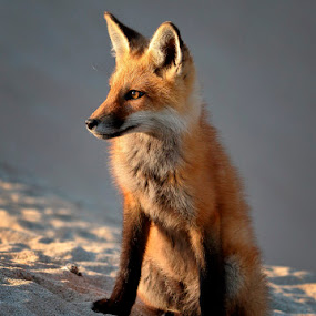 Red fox at sunset by Rich Reynolds - Animals Other ( canine, sitting, fox, rest, red fox )