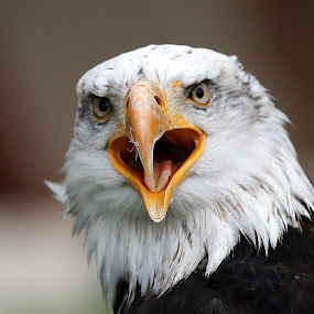 The Cry by Jürgen Sprengart - Animals Birds ( bird, bald eagle, crying, shout )