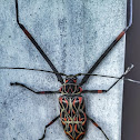Giant Harlequin Beetle / Arlequim-da-Mata