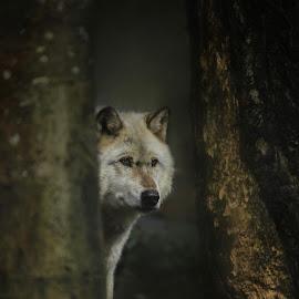 Grey Wolf  by Paul Fine - Animals Other ( hunter, predator, wolf, grey, pack )