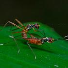 Stilt-legged Fly
