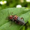 Rustic Sailor Beetle