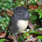 New Zealand Robin (South Island)