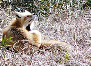 Photo: Red Fox on Town Marsh by volunteer Meg Luther