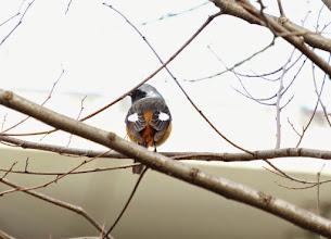 Photo: 撮影者:佐藤サヨ子 ジョウビタキ タイトル:庭のジョウビタキ 観察年月日:2015年3月14日 羽数:♂1羽 場所:高幡台団地の庭 区分:行動 メッシュ:武蔵府中3H コメント:3月も半ばとなり、そろそろお別れが近いと思われるジョウビタキですが、ツグミや雀が去ったあと庭にやってきた。