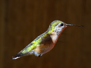 Photo: Female Rufous Hummingbird in flight.