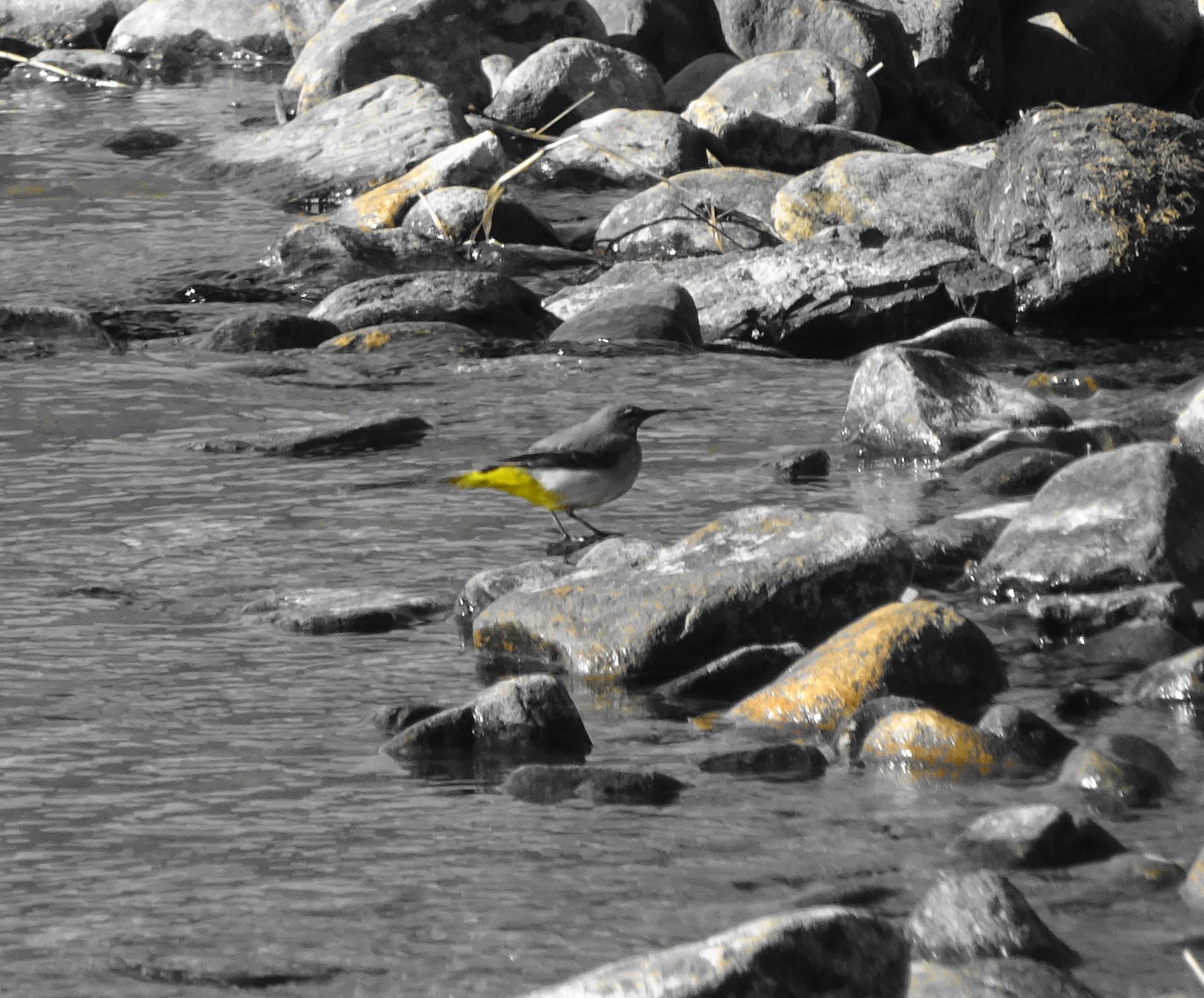 Grey Wagtail + Yellow filter = ?