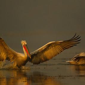 Pelican by Saumitra Shukla - Animals Birds ( canon, bird, flying, color, wings, beautiful, wildlife, pelicans, travel, morning, birds, pelican, golden hour )