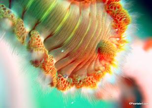 Photo: Bearded Fireworm, macro view