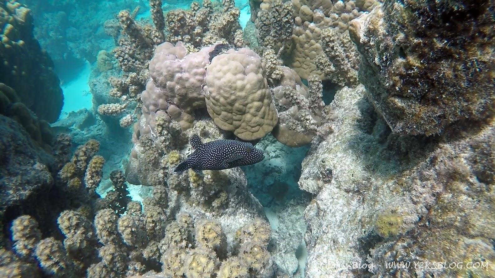 Un buffissimo pesce palla - Bora Bora