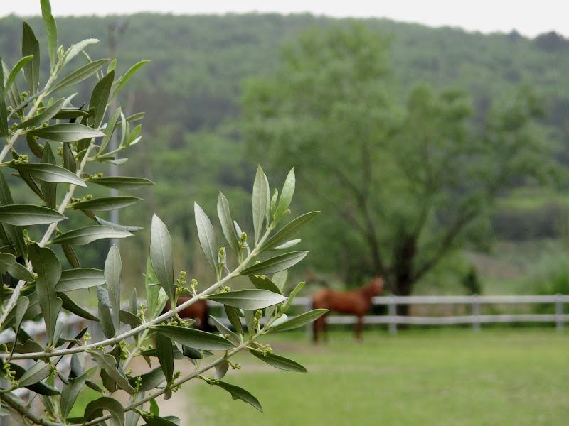 Olivi in fiore di LunaStorta