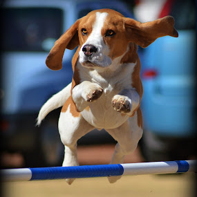 Beagle Agility by Christil-Photography Bloemfontein - Animals - Dogs Running ( jumping, floppy ears, beagle, agility )