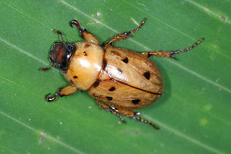 Photo: 24 Cyclocephala sexpunctata 1, Esquinas Rainforest