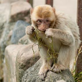 A little monkey by M. Andersen - Animals Other ( zoo, photoandersen, givskud, photo-andersen.dk, denmark, monkey,  )