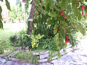Photo: Apple and Pear trees near the patio