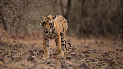 Photo: Royal Bengal Tiger... superb and spectacular!  ray@raymondbarlow.com for more info on tours and prints.  Kind regards from India!  Raymond   #bengal #indianature  #royalbengal  #wildlife #nature  #ranthambore  #raymondbarlow #naturephotos  #bengaltiger #tigers #animal #animallovers #animalphotography  #nature #phototour  #raymond  #green #nature #naturephotography  #phototours  #wildlife  #travel #adventure  #whatshot  #wildlifephotographers #wildlife  #canadianphotographer
