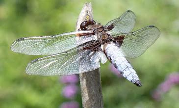 Photo: Libellula depressa mâle