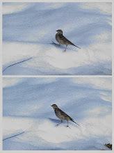 Photo: 撮影者:清水盛通 タヒバリ タイトル:雪山で遊ぶ 観察年月日:2014.02.21 羽数:1羽 場所:陵北大橋下流 区分:行動 メッシュ:拝島2B コメント:残雪の上で軽やかにステップを刻み、遊んでいるようでした。 (実際は雪に落ちた羽虫を食べていたようです。)