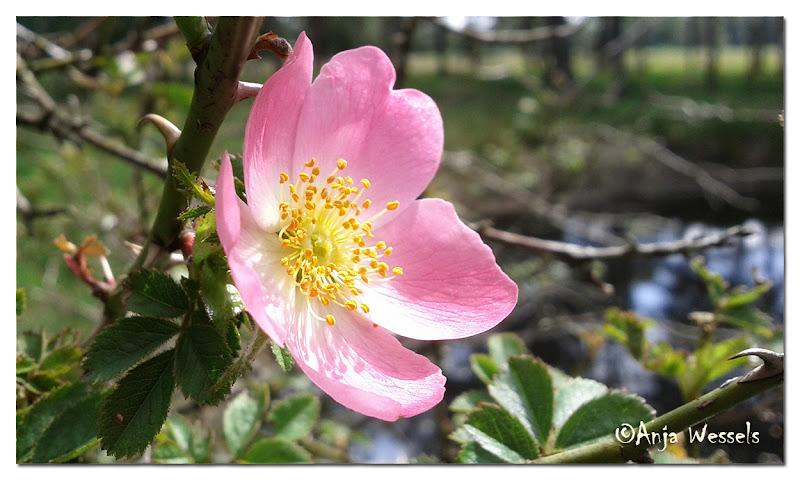 Photo: Rose on Boetelerveld by Anja Wessels