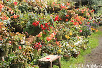 Photo: 拍攝地點: 梅峰-溫帶花卉區 拍攝植物: 球根秋海棠 拍攝日期: 2015_10_05_FY